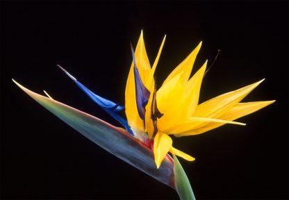 Paradicsom madár virág